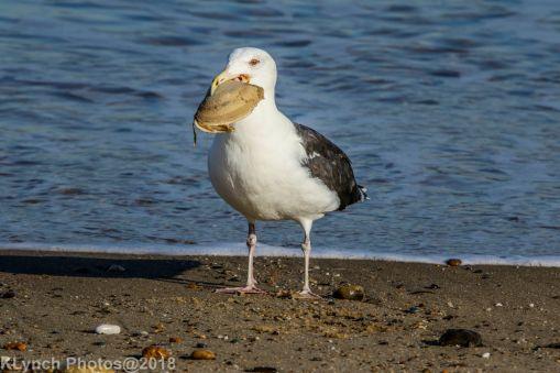 Gull_20