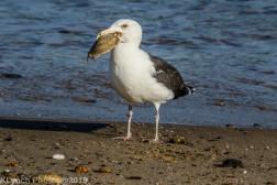 Gull_22