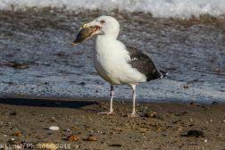 Gull_24