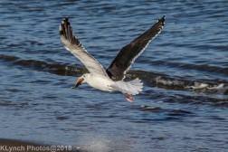 Gull_26