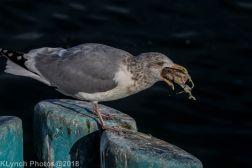 Gulls_18