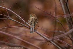Sparrow_1