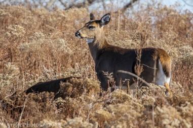 Deer_11