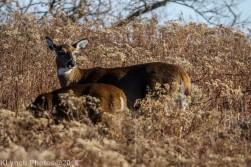 Deer_15