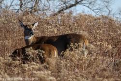 Deer_16