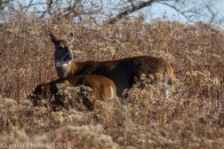 Deer_18