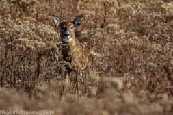 Deer_19