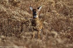 Deer_24