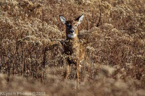 Deer_25