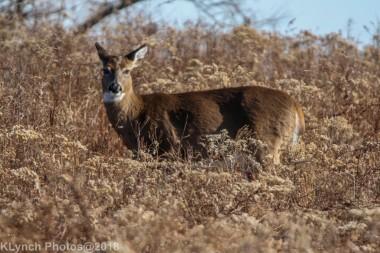 Deer_26