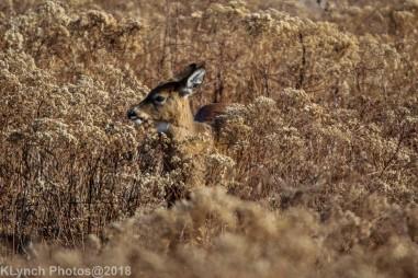 Deer_29