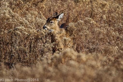 Deer_30