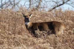 Deer_31
