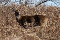 Deer_32