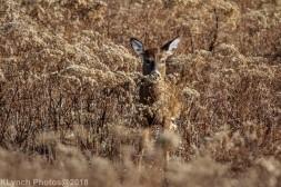 Deer_35