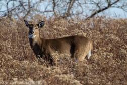 Deer_37
