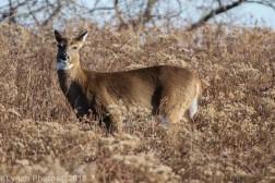 Deer_38