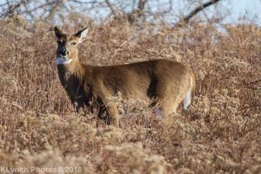 Deer_39