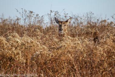 Deer_40
