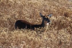 Deer_8