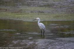 egret_3