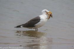 gull_13