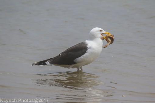gull_14