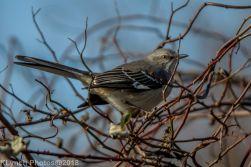 Mockingbird_3