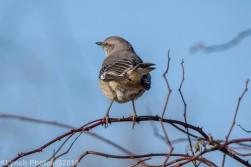 Mockingbird_5