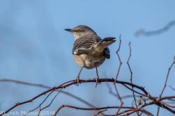 Mockingbird_6