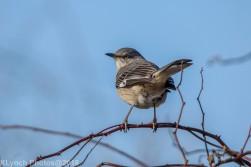 Mockingbird_7