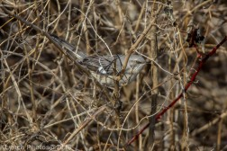 Mockingbird_9