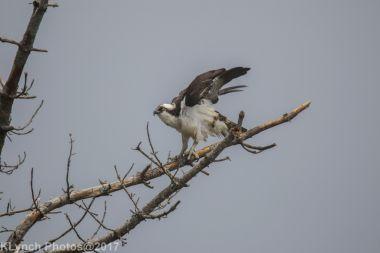 osprey_23
