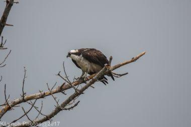 osprey_28