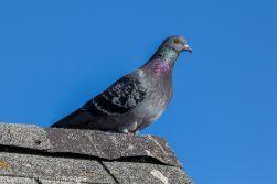 Pigeon_4