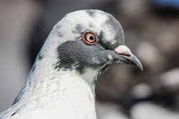 Pigeon_9