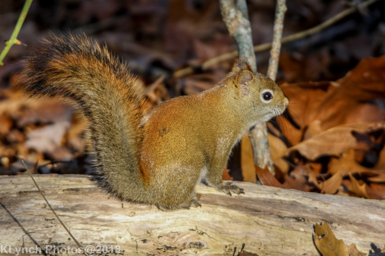Redsquirel