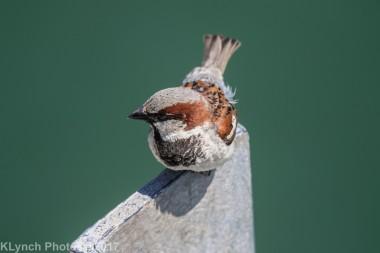 sparrow_6