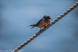 swallow_6
