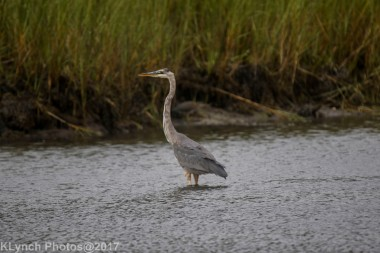 greatblueheron_3