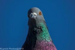 pigeons_5