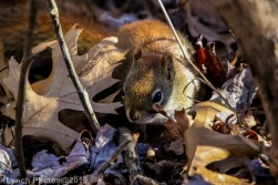 redsquirrel_1