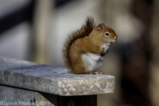 redsquirrel_11
