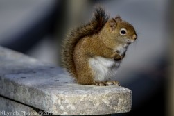redsquirrel_12