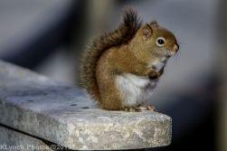 redsquirrel_12