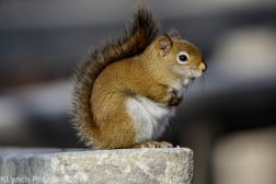 redsquirrel_15