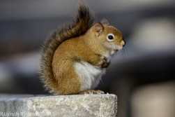 redsquirrel_17