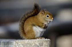 redsquirrel_18