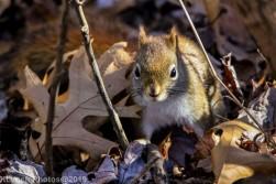redsquirrel_2