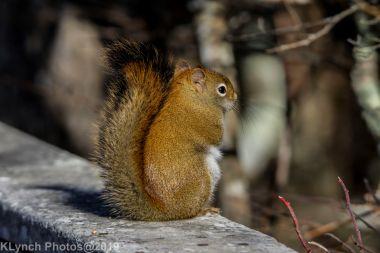 redsquirrel_20